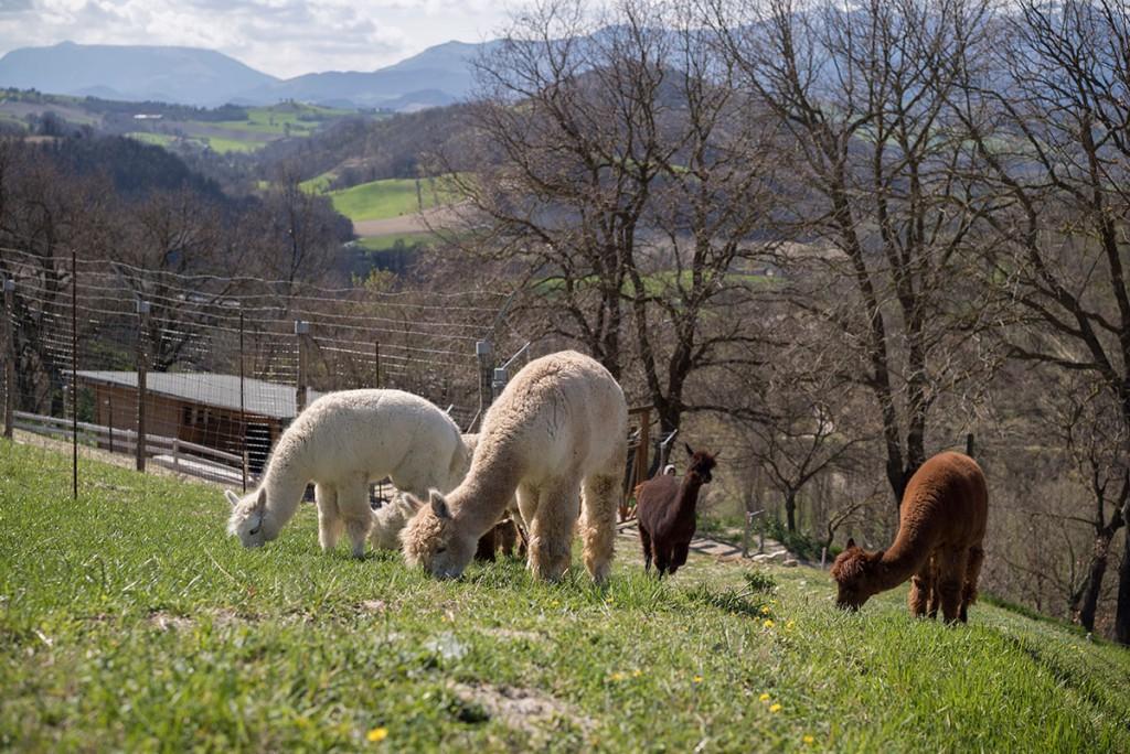 Allevamento di alpaca in vendita Marche Italia